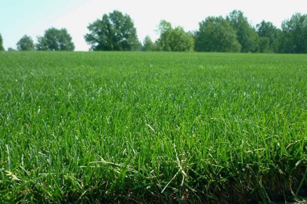 Наши газоны